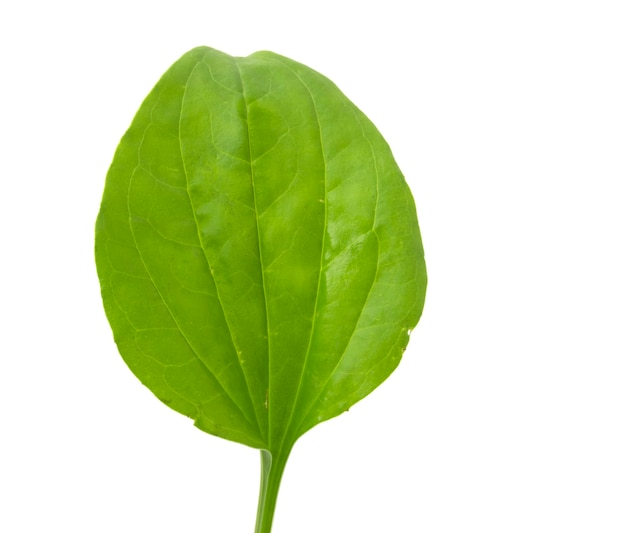 オオバコの葉、白い背景で隔離の薬用植物。