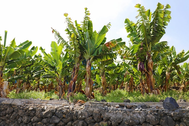 Plantation of bananas in tenerife