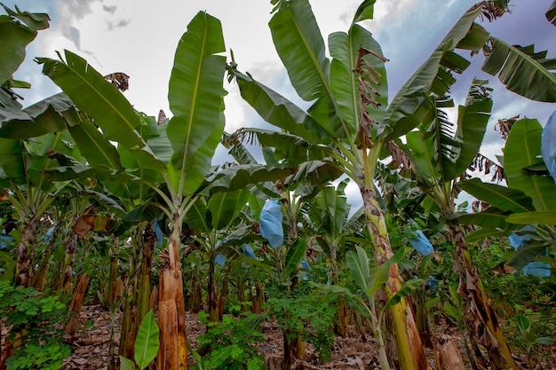 Plantation of bananas with grown fruits