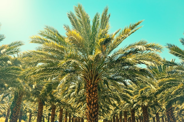 Plantation of date palm trees in israel. beautiful nature