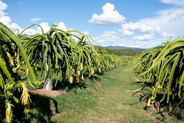 Плантация плодов дракона на огороде, плоды сырой питайи на дереве