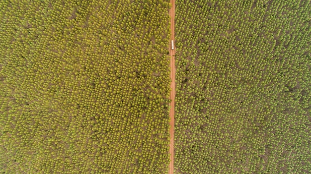 Plantation of eucalyptus trees, view from above. eucalyptus forest.