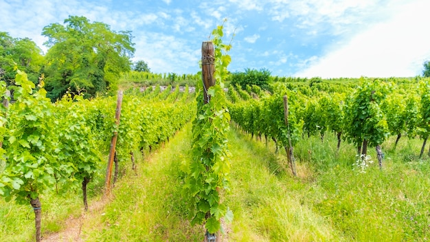 Plantation of growing grape-bearing vines