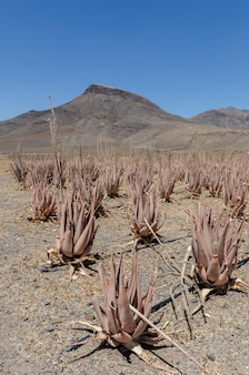 Plantation of medicinal aloe vera plant in the canary islands, spain. field is artificially irrigated due to the arid climate.
