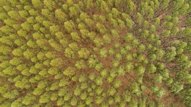 유칼립투스 나무의 농장, 위에서 볼 수 있습니다. 유칼립투스 숲.