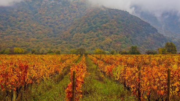 ジョージア州カヘティ地域の秋の景観におけるブドウのプランテーション