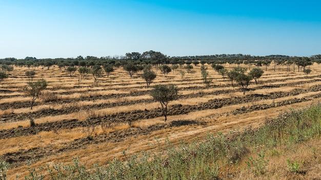 オリーブの木のプランテーション