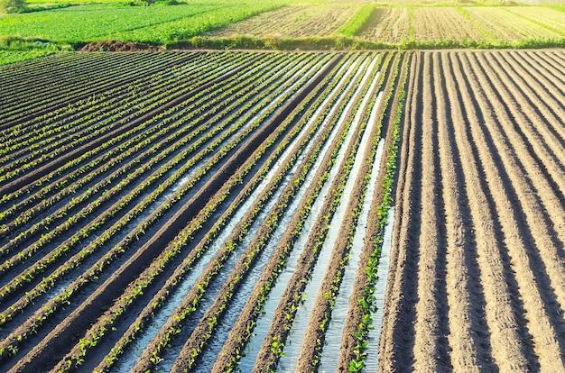 若いナスの苗のプランテーションは、灌漑用水路を通して水をまきます