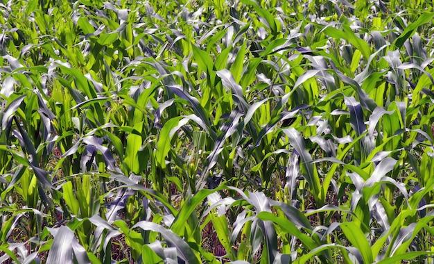 어린 녹색 옥수수 식물 재배(zea mays)
