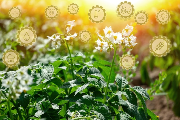 Посадка молодого картофеля растет в поле. земледелие, сельское хозяйство, выращивание органических овощей.