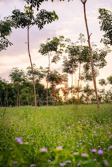 Plantation or para rubber tree or tree rubber garden in southern thailand