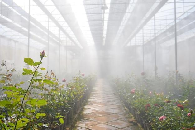 Плантация роз в оранжерее, цветущие розы в оранжерее на розовой ферме