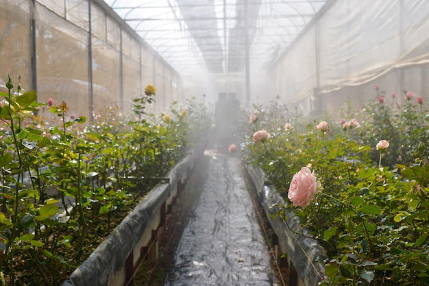 温室のプランテーションバラ、バラ園の温室に咲くバラ