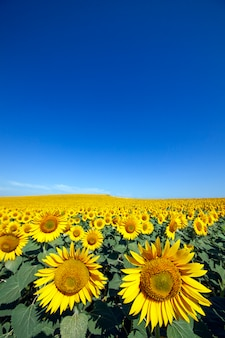 Plantation of sunflowers with a blue sky day