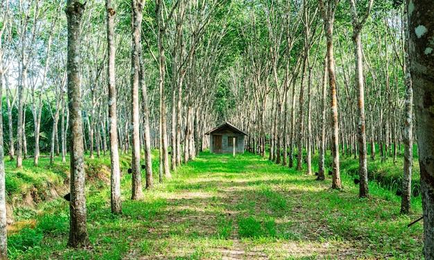 태국 남부의 농장 나무 고무 또는 라텍스 나무 고무 또는 파라 고무 나무