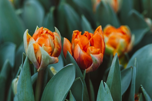 Plantation of tulips in a greenhouse