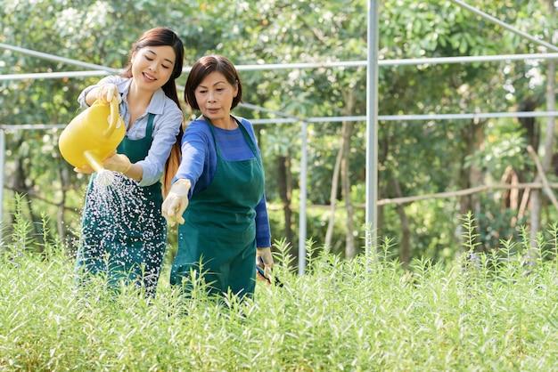プランテーション労働者が植物に水をまく
