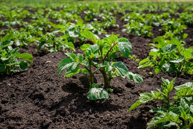 Plantation of young potato sprouts in a field with black soil