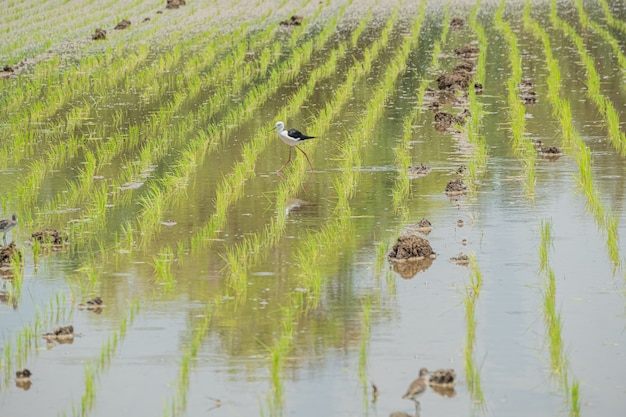 Plantation young rice field with bird find feeding