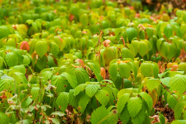 Plantation of young wild grapes. green leaves