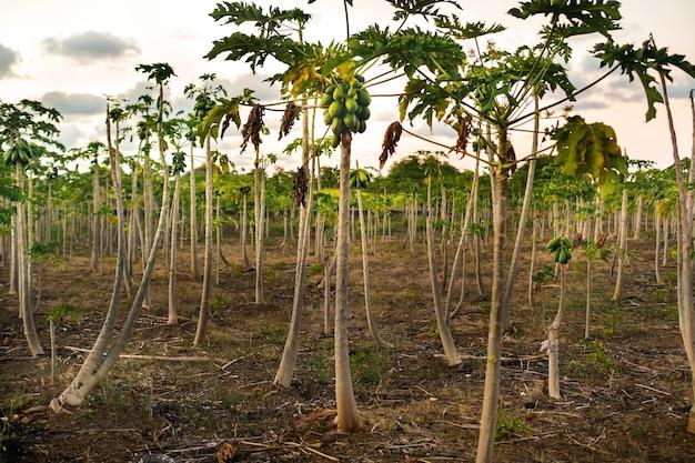 아프리카의 모리셔스 섬에 파파야 나무가있는 농장.