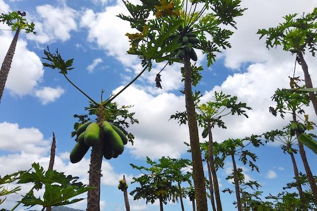 アフリカのモーリシャス島のパパイヤの木のあるプランテーション
