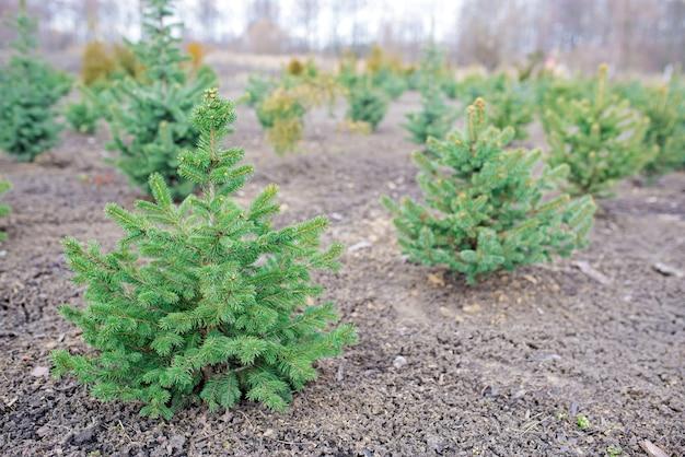 Посадки молодых зеленых елей, новогодних елок, пихты нордманн и других елей, готовые к продаже к рождеству и новому году.