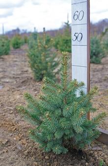 Посадки молодых зеленых елей, елей, пихты нордманн и других елей, линейка для определения высоты хвойных деревьев.