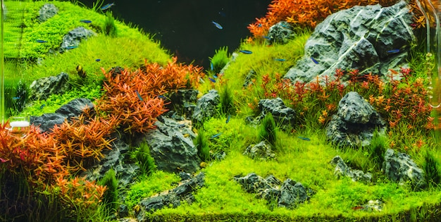 Planted aquarium with tropical fish cardinal