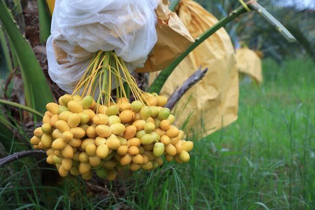 タイでナツメヤシの木を植える草が生い茂った庭に植えられます