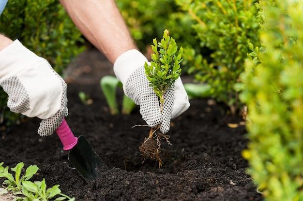 Посадка саженца. изображение крупным планом мужских рук в перчатках, держа зеленое растение