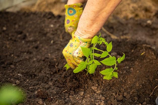 カラフルな手袋でトマト苗の女性の手を植える