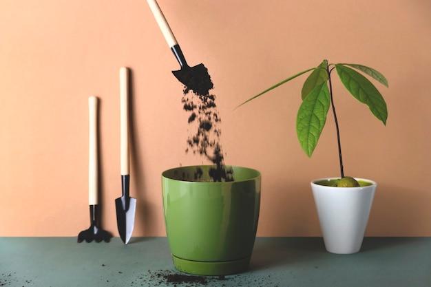 アボカドの発芽種子を鉢に植える