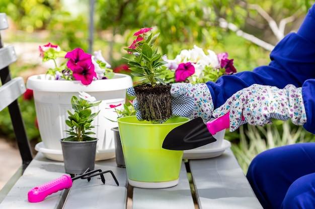 Посадка красивых однолетних цветов в домашнем саду. красный и белый катарантус в зеленом горшке