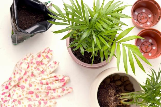 Концепция посадки. пальма chamaedorea в горшке на белом фоне рядом с садовым инструментом.