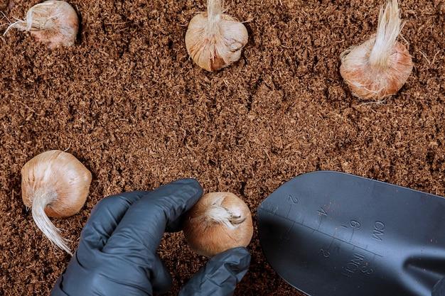 땅에 크로커스 전구 심기. 사프란 심기 장갑 농부입니다. 정원 도구.