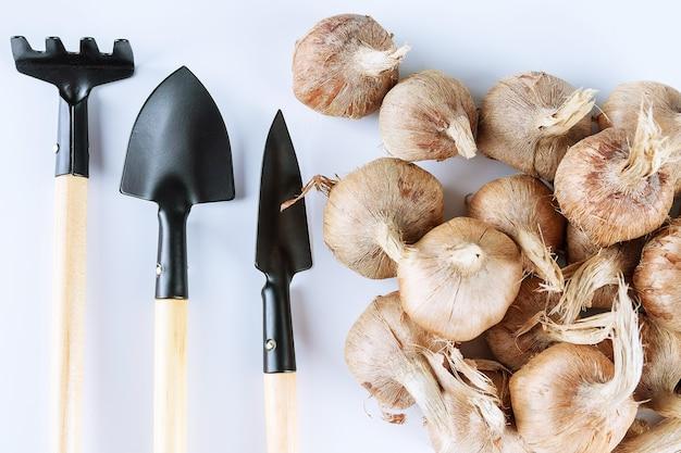 크로커스 구근 심기. 흰색 바탕에 크 로커 스 구근과 정원 도구 더미. 성장하는 사프란의 개념. 사프란 재배.