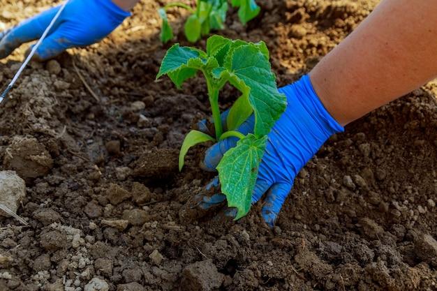 온실에 오이 묘목 심기. 농부가 파란 장갑을 끼고 땅에 묘목을 심고 있습니다.