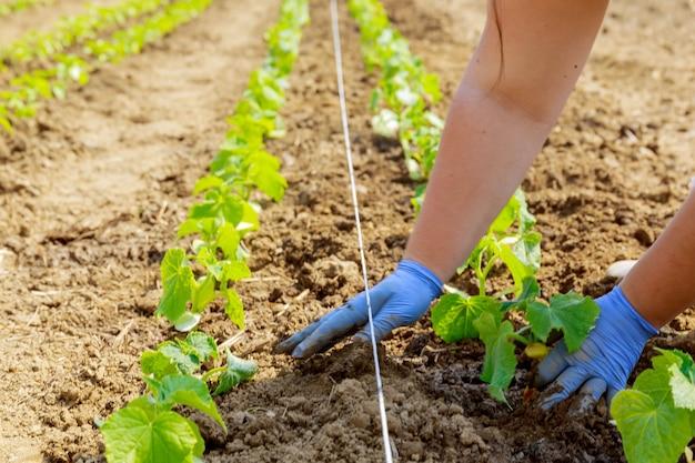 온실에 오이 묘목을 고르게 심습니다. 농부가 파란 장갑을 끼고 땅에 묘목을 심고 있습니다.