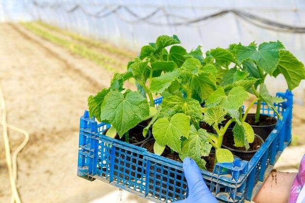 온실에 오이 심기. 농부는 젊고 건강한 절임 식물이 든 상자를 들고 있습니다.