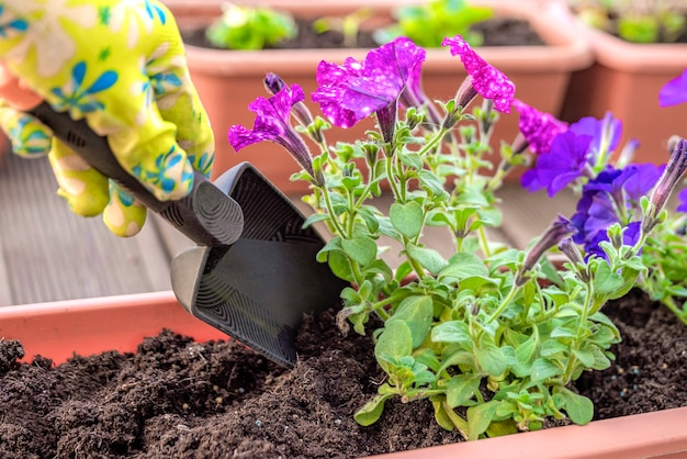 Planting flowers. gardener's hands plant flowers in a pot of soil in a container on the terrace, balcony, garden. gardening concept.
