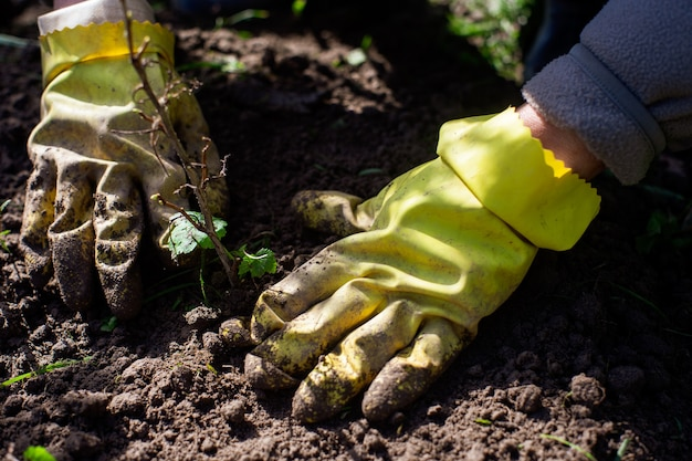 Planting fruit sprouts by farmer in garden bed of country house. garden seasonal work concept