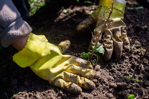 시골집 정원 침대에 농부가 과일 새싹을 심습니다. 정원 계절 작업 개념