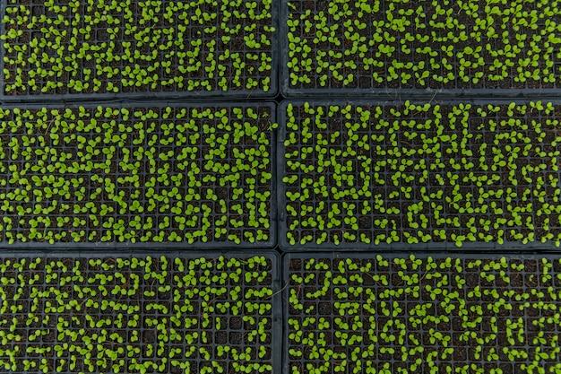 Planting green lettuce seedling in black plastic tray in plant nurseries
