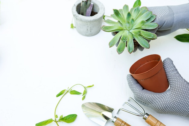 Planting green plant succulent in greenhouse in spring