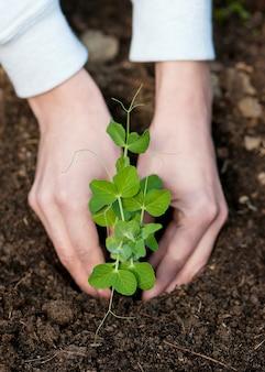 肥沃な土壌に緑のスイートピー植物を植えるクローズアップ
