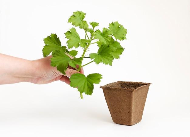 屋内の花を植えるペラルゴニウム挿し木ガーデニングと花卉園芸