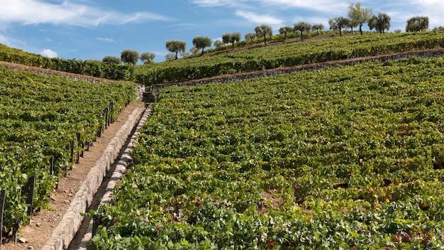 ワインの収穫と加工のためのブドウの木の植え付け