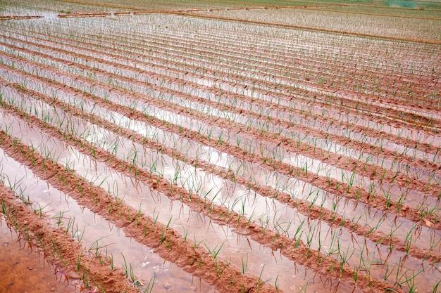 淡水で水をまく地中海の庭に若いタマネギを植える。