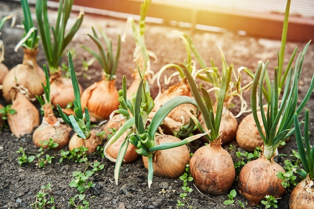 Planting onion in garden. plantation in the vegetable garden agriculture. sunlight flare copyspace